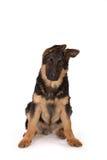 πρόβατα σκυλιών Στοκ Φωτογραφίες