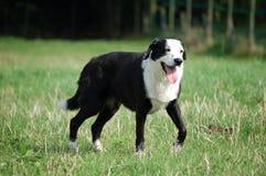 πρόβατα σκυλιών Στοκ Φωτογραφία