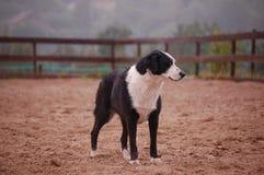 πρόβατα σκυλιών Στοκ φωτογραφίες με δικαίωμα ελεύθερης χρήσης