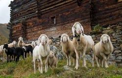 Πρόβατα στα βουνά Στοκ φωτογραφίες με δικαίωμα ελεύθερης χρήσης