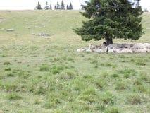 Πρόβατα στα βουνά φιλμ μικρού μήκους