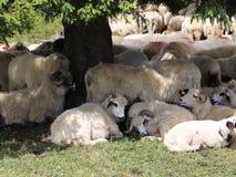 Πρόβατα στα βουνά απόθεμα βίντεο