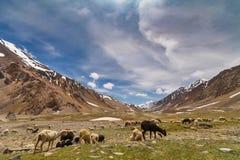 Πρόβατα στα βουνά Himalayan Στοκ φωτογραφίες με δικαίωμα ελεύθερης χρήσης
