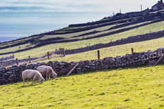 Πρόβατα στα ιρλανδικά λιβάδια Στοκ Φωτογραφία