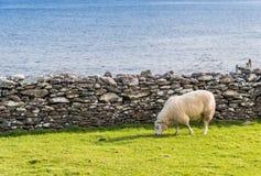 Πρόβατα στα ιρλανδικά λιβάδια Στοκ Εικόνες