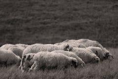 Πρόβατα στα λιβάδια στοκ εικόνες