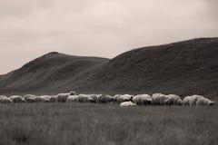 Πρόβατα στα λιβάδια στοκ εικόνα