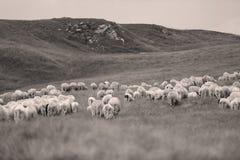 Πρόβατα στα λιβάδια στοκ εικόνες με δικαίωμα ελεύθερης χρήσης