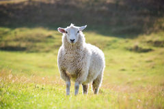 Πρόβατα στην αγριότητα της Νέας Ζηλανδίας Στοκ Φωτογραφίες