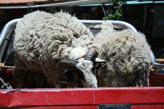 Πρόβατα στην επανάλειψη Στοκ Φωτογραφίες