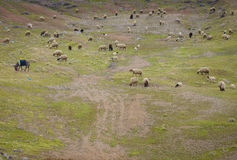 Πρόβατα στην κοιλάδα Στοκ εικόνες με δικαίωμα ελεύθερης χρήσης