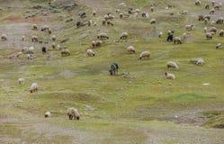 Πρόβατα στην κοιλάδα Στοκ φωτογραφία με δικαίωμα ελεύθερης χρήσης