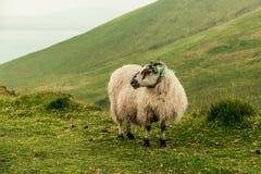 Πρόβατα στην κορυφή Caherconree στη Dingle χερσόνησο στη ιρλανδική αγελάδα κομητειών, η δεύτερος-υψηλότερη αιχμή των βουνών Sliev Στοκ Εικόνα