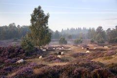 Πρόβατα στην πορφυρή ανθίζοντας ερείκη Στοκ Εικόνες