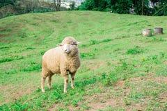 Πρόβατα στην πράσινη χλόη και την όμορφη φύση στοκ φωτογραφίες με δικαίωμα ελεύθερης χρήσης