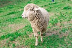 Πρόβατα στην πράσινη χλόη και την όμορφη φύση στοκ εικόνες με δικαίωμα ελεύθερης χρήσης