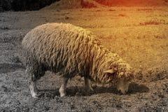 Πρόβατα στην πράσινη χλόη και την όμορφη φύση στοκ εικόνα