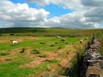 Πρόβατα στην τράπεζα συλλογών στοκ φωτογραφία