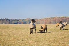 Πρόβατα στη βοσκή του εδάφους Στοκ Φωτογραφίες