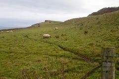 Πρόβατα στη Βόρεια Ιρλανδία Στοκ Φωτογραφία