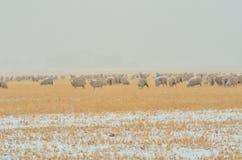Πρόβατα στη θύελλα χιονιού Στοκ φωτογραφία με δικαίωμα ελεύθερης χρήσης