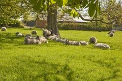 Πρόβατα στη διάστικτη σκιά. Στοκ φωτογραφίες με δικαίωμα ελεύθερης χρήσης