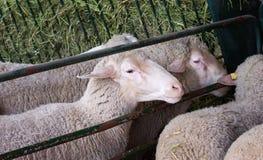 Πρόβατα στη μάνδρα Στοκ φωτογραφία με δικαίωμα ελεύθερης χρήσης