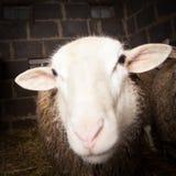 Πρόβατα στη σιταποθήκη Στοκ Εικόνες