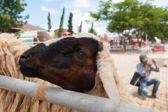 Πρόβατα στη φυλακή που περιμένει τα τρόφιμα Στοκ φωτογραφία με δικαίωμα ελεύθερης χρήσης