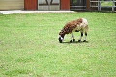 Πρόβατα στη φύση στο λιβάδι Στοκ εικόνες με δικαίωμα ελεύθερης χρήσης