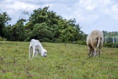 Πρόβατα στη χλόη Στοκ Φωτογραφία