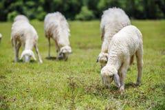 Πρόβατα στη χλόη Στοκ Εικόνες