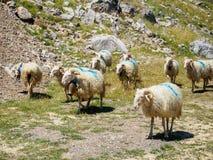 Πρόβατα στη δύσκολη κλίση Στοκ φωτογραφία με δικαίωμα ελεύθερης χρήσης