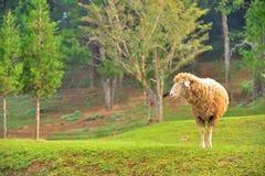 Πρόβατα στον ανοικτό τομέα Στοκ φωτογραφίες με δικαίωμα ελεύθερης χρήσης