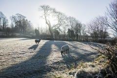 Πρόβατα στον παγετό Στοκ Εικόνα