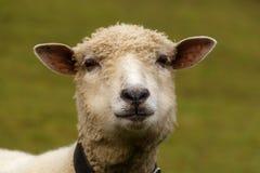 Πρόβατα στον πράσινο τάπητα, της χλόης στοκ φωτογραφία με δικαίωμα ελεύθερης χρήσης