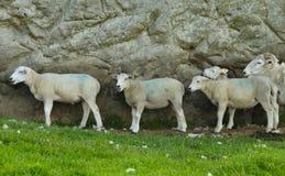 Πρόβατα στον τοίχο Στοκ Εικόνες
