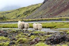 Πρόβατα στον τομέα λάβας, Eldgja, Ισλανδία Στοκ εικόνες με δικαίωμα ελεύθερης χρήσης