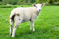 Πρόβατα στον τομέα Στοκ εικόνες με δικαίωμα ελεύθερης χρήσης