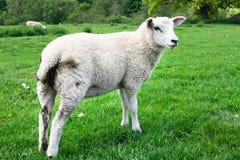 Πρόβατα στον τομέα Στοκ Εικόνα