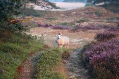 Πρόβατα στους αμμόλοφους με την ανθίζοντας ερείκη το πρωί Στοκ εικόνες με δικαίωμα ελεύθερης χρήσης