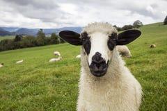 Πρόβατα στους τομείς Στοκ εικόνες με δικαίωμα ελεύθερης χρήσης