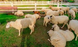 Πρόβατα στο αγρόκτημα στην ηλιοφάνεια Στοκ εικόνες με δικαίωμα ελεύθερης χρήσης