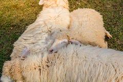 Πρόβατα στο αγρόκτημα στην ηλιοφάνεια Στοκ Εικόνες