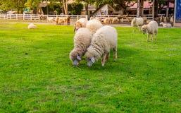 Πρόβατα στο αγρόκτημα στην ηλιοφάνεια Στοκ Εικόνα