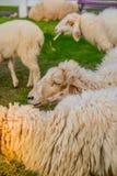 Πρόβατα στο αγρόκτημα στην ηλιοφάνεια Στοκ εικόνα με δικαίωμα ελεύθερης χρήσης