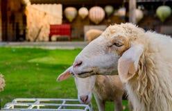Πρόβατα στο αγρόκτημα στην ηλιοφάνεια Στοκ Φωτογραφία