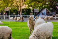 Πρόβατα στο αγρόκτημα στην ηλιοφάνεια Στοκ φωτογραφία με δικαίωμα ελεύθερης χρήσης