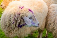 Πρόβατα στο αγρόκτημα στην ηλιοφάνεια Στοκ Φωτογραφίες