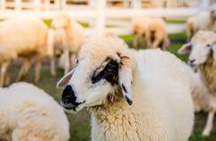 Πρόβατα στο αγρόκτημα στην ηλιοφάνεια Στοκ φωτογραφίες με δικαίωμα ελεύθερης χρήσης